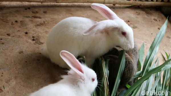 Sejumlah kelinci sedang memakan rumput yang telah disediakan petus.