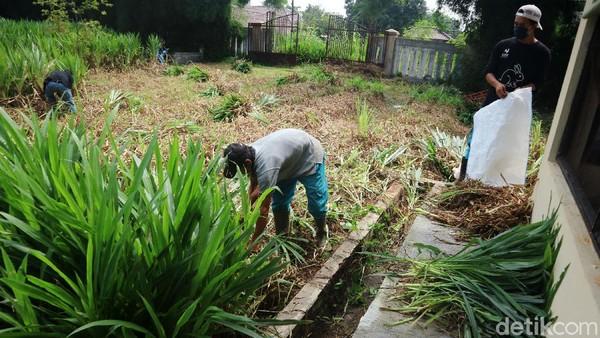 Sejumlah petugas menyiapkan rumput yang akan diberikan kepada kelinci. Rumput itu ditanam di sekitar kandang kelinci.