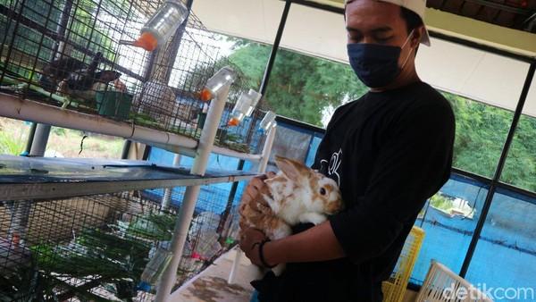 Petugas menunjukkan seekor kelinci di Taman Kelinci Pusat Pelayanan Kesehatan Hewan dan Ternak Dinas KPKP, Bambu Apus, Jakarta Timur, Kamis (27/11/2020).