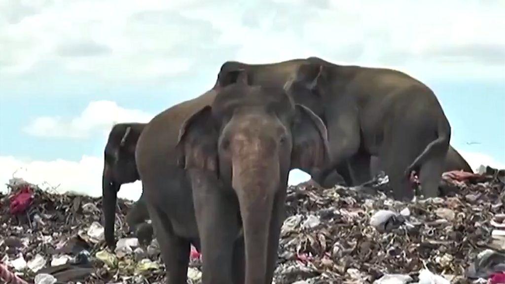 Duh! Gajah Mati Perlahan karena Makan Plastik di Tempat Pembuangan Sampah