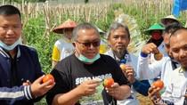 Panen Tomat Varietas Baru, Cabup Sukabumi Marwan Siapkan Agro Wisata