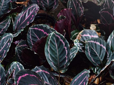 Calathea pink and green color background texture onwarm light sunshine. Tropical plant background. Decoration plants outdoor in garden.
