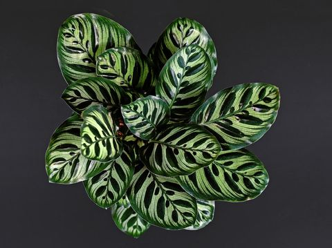 Top view of tropical 'Calathea Makoyana' Prayer Plant, a house plant with beautiful exotic stripe and dot pattern and drak and light green color on black background