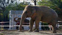 Gajah Paling Kesepian di Dunia Dipindahkan ke Kamboja