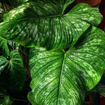 Philodendron Mamei.