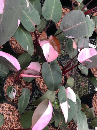Philodendron Pink Princess.