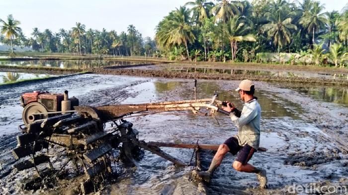 Petani di Pangandaran tengah membajak sawah.