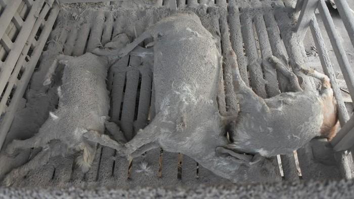 Hewan ternak mati terkapar di Desa Supiturang, Pronojiwo, Lumajang, Jawa Timur, Rabu (2/12/2020). Belasan ekor sapi dan kambing milik warga setempat mati akibat terkena awan panas Gunung Semeru. ANTARA FOTO/Seno/aww.