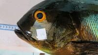 Wah! Ikan Kakap Tertua Dunia Umurnya 81 Tahun