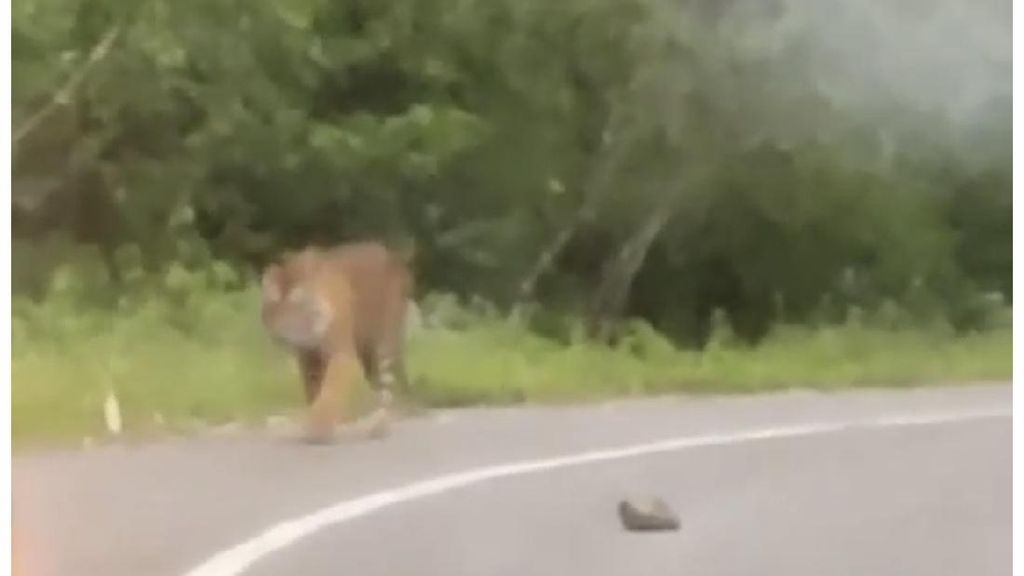 Gempar Kabar Harimau Nongkrong di Pinggir Jalan Sumbar