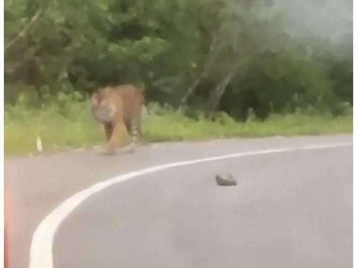 Viral harimau muncul dan nongkrong di pinggir jalan di Sumbar (dok. Istimewa)