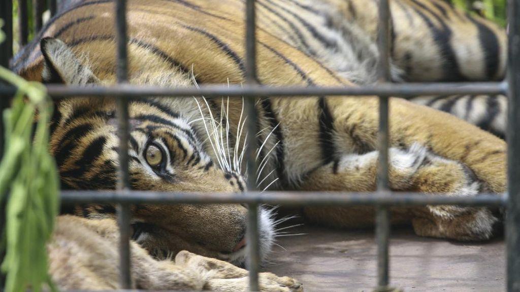 Penampakan Harimau Sumatera yang Tertangkap di Sumbar