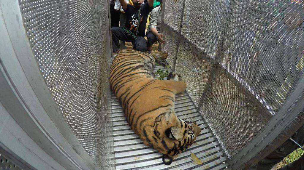 Lagi, Seekor Harimau di Sumbar Masuk Perangkap
