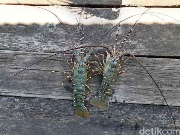 Bagi masyarakat Kampung Goras, Distrik Mbahamdandara, Kabupaten Fakfak, Papua Barat, lobster bukan barang mahal. Lobster merupakan makanan biasa dan tidak spesial. Lobster dianggap biasa saja karena mudah didapat di perairan sekitar kampung mereka.