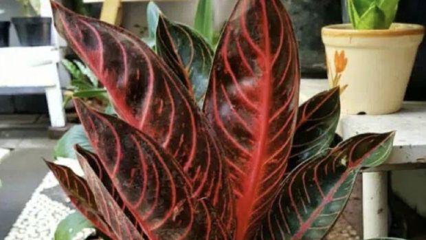 Aglaonema pride of Sumatra. Ist