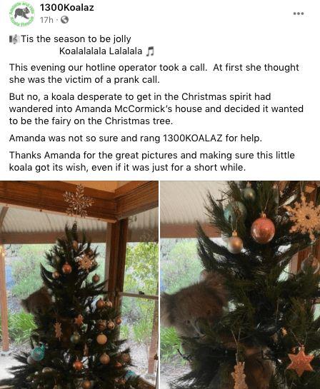 koala dipohon natal