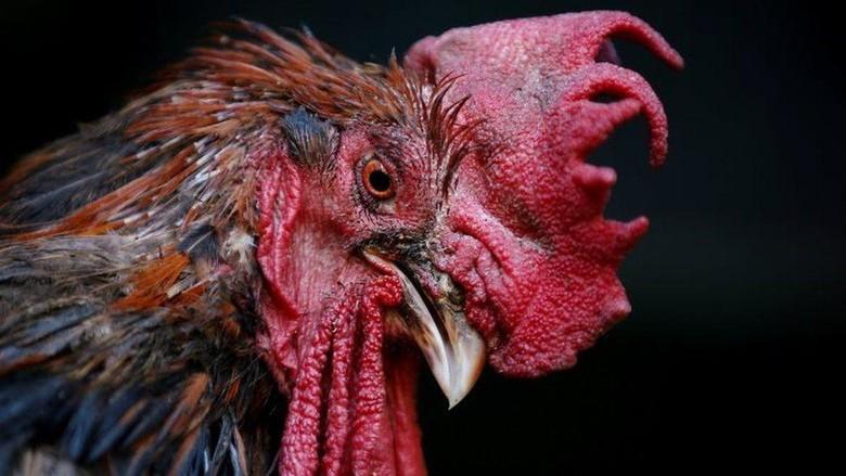 Pria Prancis dijatuhi hukuman percobaan dan denda karena menembak dan menusuk ayam jago yang berisik
