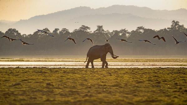 Kaziranga merupakan rumah bagi harimau dalam kawasan yang dilindungi, dan dideklarasikan sebagai Konservasi Harimau pada tahun 2006. Taman tersebut juga merupakan rumah bagi populasi gajah Asia, kerbau air liar dan rusa rawa.