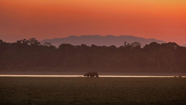 Badak bercula satu merumput saat matahari terbenam di jajaran Agoratoli di Taman Nasional Kaziranga, timur Gauhati, di negara bagian timur laut Assam, India.
