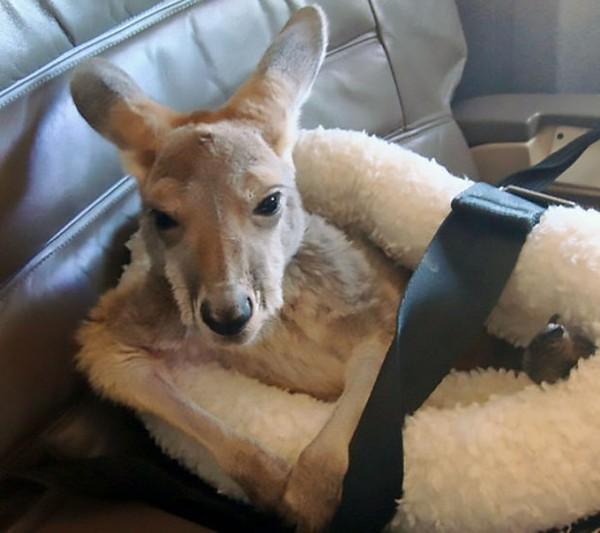 Pernah ketemu kanguru di pesawat? Ada kok yang pernah bawa. (Bored Panda)