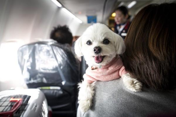 Kini animal support yang diperbolehkan untuk naik ke pesawat hanya anjing saja. (Getty Images)