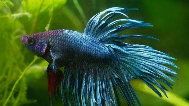 Ikan Cupang Crown Tail. Ist