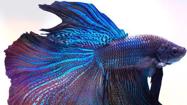 Ikan Cupang (Double Tail). Ist