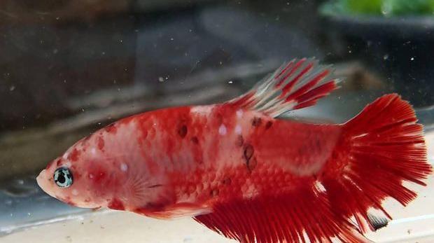 Ikan Cupang Halfmoon. Ist