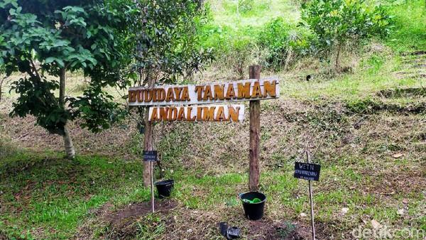 Tanaman ini pun sudah dikemas menjadi berbagai kemasan hingga menjadi cemilan. Hal ini dilakukan untuk memperkenalkan tanaman khas Toba agar nantinya bisa dikonsumsi oleh wisatawan mancanegara. (Tasya Khairally/detikcom)