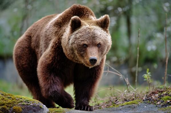 Jadi ceritanya pada abad ke 18, orang Swiss menggunakan senapan dengan tembakan tunggal untuk berburu. Kalau kita bandingkan dengan kekuatan senapan sekarang, masih kalah jauh kekuatannya dan tidak cukup sekali tembak untuk membunuh seekor beruang. Jika ditembakan pertama pemburu tidak membunuh beruang, kemungkinan besar dia akan mati dicabik-cabik beruang karena butuh waktu untuknya mengisi peluru lagi. (Getty Images/Freder)