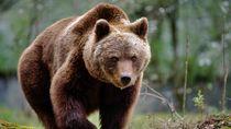 Kabur dari Kebun Binatang, Beruang Ini Kejar Penduduk dan Tertabrak Bus!