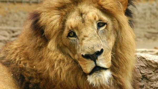 Singa bisa tidur 15-20 jam lho perharinya ( ABC Australia)