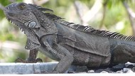 Telur Iguana hingga Tikus Isi Kacang, 5 Makanan Aneh yang Pernah Populer