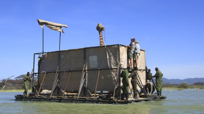 An endangered Rothschild's giraffe, blindfolded to keep it calm, is floated on a custom-built rectangular barge from Longicharo Island to the eastern shores of Lake Baringo, to save it from rising lake levels that threaten its future, in Kenya Wednesday, Dec. 2, 2020. The operation conducted by wildlife organizations with the help of the local community comes after lake levels started to rise by an estimated 6 inches a day, turning the giraffe's original home into an ever-shrinking island. Seven giraffe remain on the island with two due to be moved over the next few days, and the rest in the coming months, according to Northern Rangelands Trust. (Northern Rangelands Trust via AP)