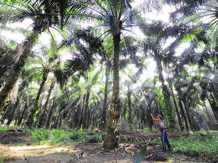 Pekerja memanen tandan buah segar (TBS) kelapa sawit, di Petajen, Batanghari, Jambi, Jumat (11/12/2020). Dewan Minyak Sawit Indonesia (DMSI) memperkirakan nilai ekspor kelapa sawit nasional tahun 2020 yang berada di tengah situasi pandemi COVID-19 tidak mengalami perbedaan signifikan dibanding tahun sebelumnya yang mencapai sekitar 20,5 miliar dolar AS atau dengan volume 29,11 juta ton. ANTARA FOTO/Wahdi Septiawan/hp.