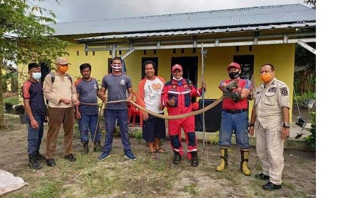 Ular king kobra dievakuasi dari bawah kasur warga di Belitung.