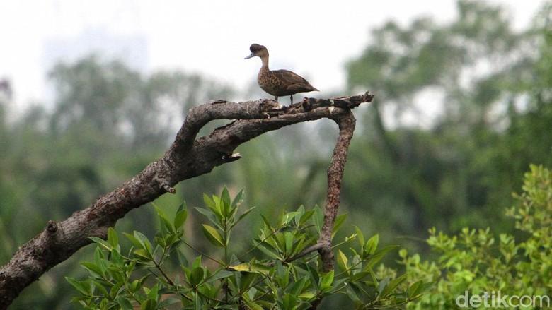 Pemandangan hutan mangrove di kawasan Jakarta dengan latar belakang gedung bertingkat menjadi adaptasi tersendiri bagi keberadaan burung-burung di ibu kota. Keberadaan burung di ibu kota harus mampu bertahan dengan kondisi perubahan habitat seperti yang terlihat di kawasan hutan mangrove di Jakarta Utara, Sabtu (12/12)