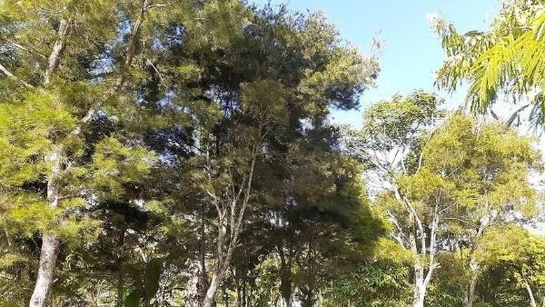 Pohon di Papua.