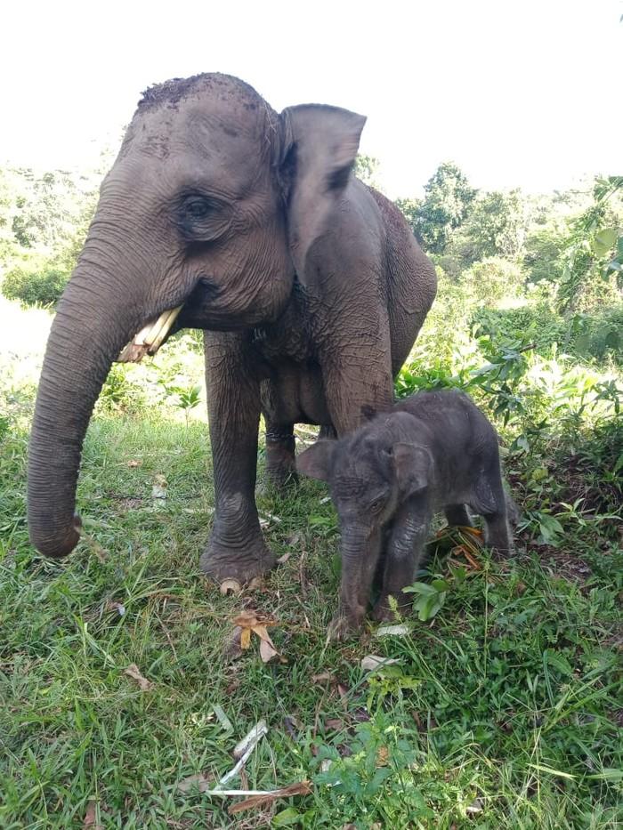 Gajah betina di camp Elephant Flying Squad di Taman Nasional Tesso Nilo, Pelalawan, Riau melahirkan bayi gajah jantan (Dok Balai TN Tesso Nilo)