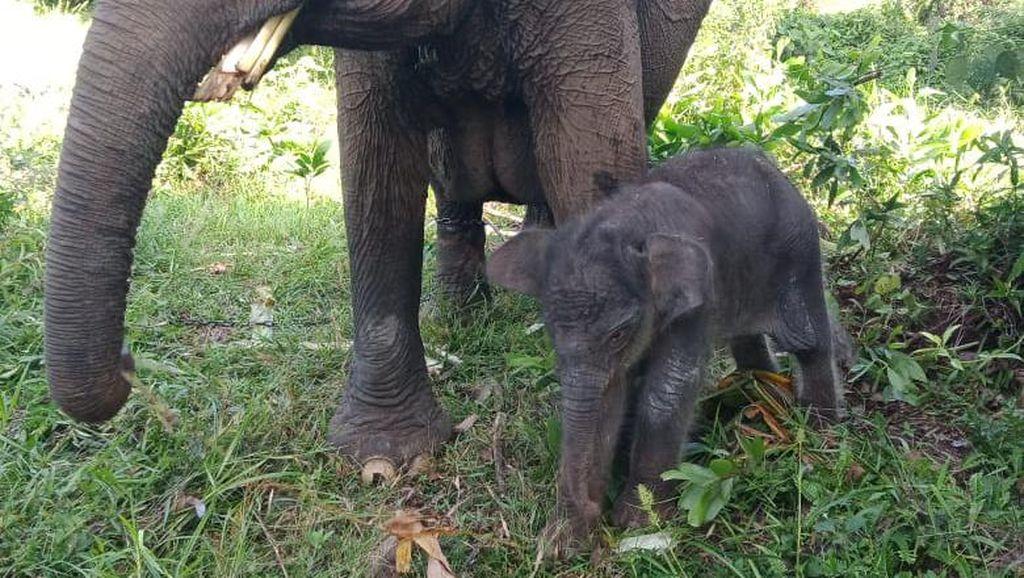 Anak Gajah Lahir Usai Induk Diselamatkan 27 Tahun Lalu dari Konflik