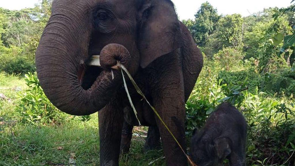 Selamat dari Konflik, Gajah Sumatera Lahirkan Anak Ke-4 di TN Tesso Nilo