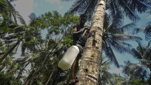 Nira merupakan bahan baku utama pembuatan minuman tradisional Maluku bernama sopi.