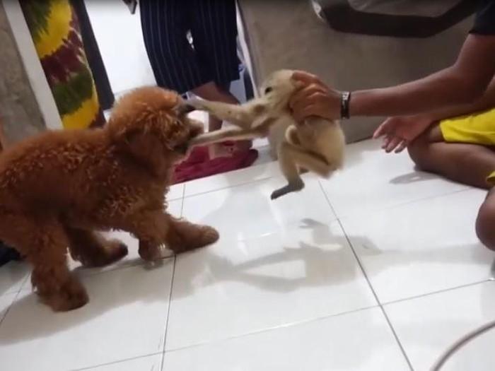 Viral primata owa diadu dengan anjing di Pelalawan (dok Istimewa)