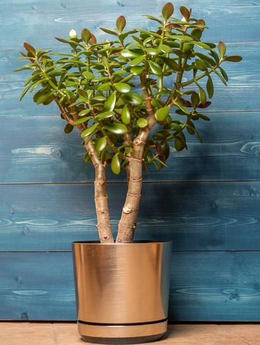 Succulent houseplant Crassula in a pot on a wooden blue background.