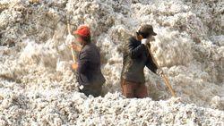 Ditemukan Bukti Baru Kerja Paksa Uighur di Ladang Kapas, Apa Dampaknya?