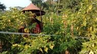 Musim Hujan, Harga Cabai dan Tomat Melambung di Pasar Blitar