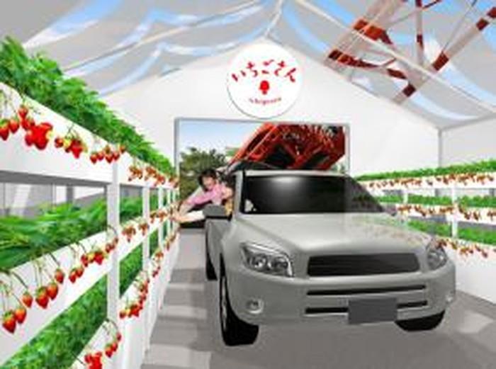 Jepang Terapkan Wisata Petik Stroberi Drive-Thru