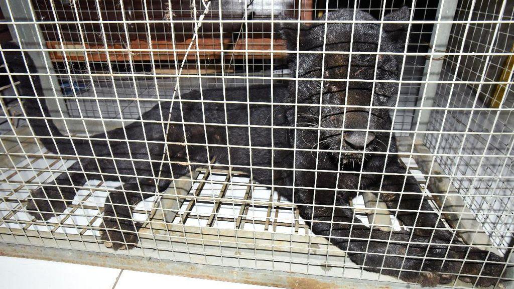 Masuk Perkampungan, Macan Tutul Ini Ditangkap