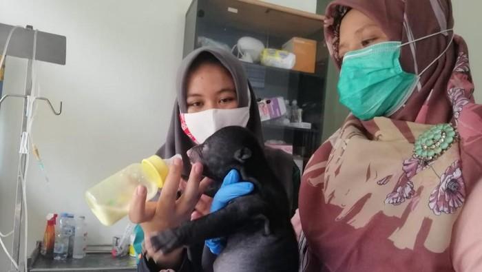 Bayi beruang yang diselamatkan BKSDA di Riau (dok. Istimewa)