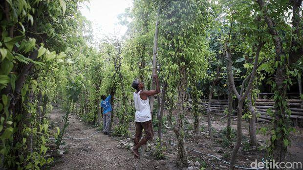 Yoseph Nahak (65), warga Kabupaten Malaka, Timor Tengah Selatan, NTT, tengah memetic sirih dikebun yang terletak dibelakang rumahnya. Sirih merupakan bagian dari adat istiadat Sebagian besar masyarakat di NTT.